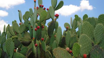 This Is Why Eating Nopal Cactus Can Knock The Weight Right Off