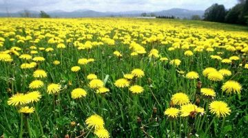 Eating Dandelion Greens Turn On A 'Kill Switch' Against Leukemia Cancer Cells