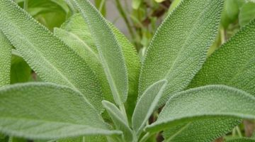 This Is Why All Women Going Through Menopause Should Consume Sage