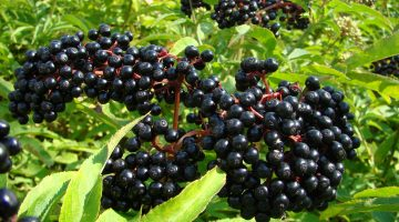 Consuming Elderberries Is An Excellent Source To Boost Immune System