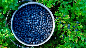 Blueberries Are Great For People Struggling With Memory Loss