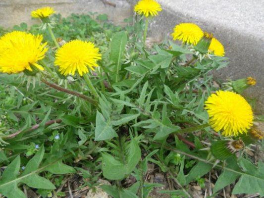 dandelionsgreen