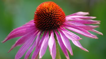5 Terrifying Pieces Of Evidence That Explain Why You Should Never Take Echinacea