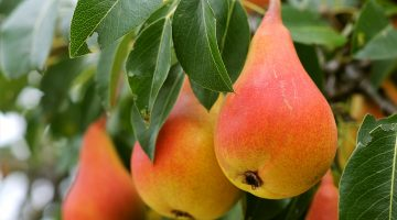 7 Awesome Things About Pears That Explain Why You Should Eat Them