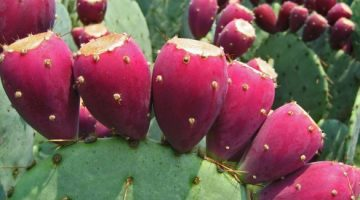 prickly-pear1