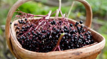 8 Mind-Blowing Health Benefits Of Elderberries That Prove Why You Should Eat Them